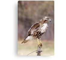 Immature Redtail on fence post Canvas Print