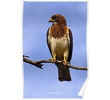 Swainson Hawk Poster