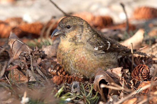 Almost There Crossbill 2 by DigitallyStill