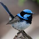 Superb Fairy Wren by smylie