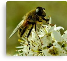 Honey-Bee Canvas Print