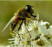 Honey-Bee Photographic Print