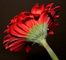 One Gerbera Daisy by Segalili