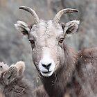 Sheep - Rosebank Ranch Lillooet BC by KansasA