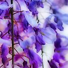 Wisteria Impressions by Barbara  Brown