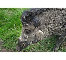 Gissa Kiss ( Negos Island Warty Pig) Photographic Print