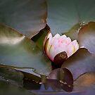 Pink Lotus by Melissa Dickson