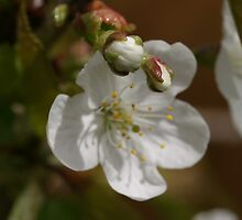Beautiful Blossom by Judith Christian-Carter