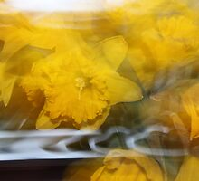 Daffodils in a Daze by Sphere