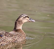 Duck at the Pond - Rosebank Ranch Lillooet BC by KansasA