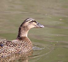 Duck at the Pond - Rosebank Ranch Lillooet BC by KansasA