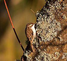 Tree Creeper by Jon Lees