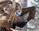 Cinereous Vulture by Veronica Schultz