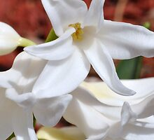 White Hyacinth by MaryLynn