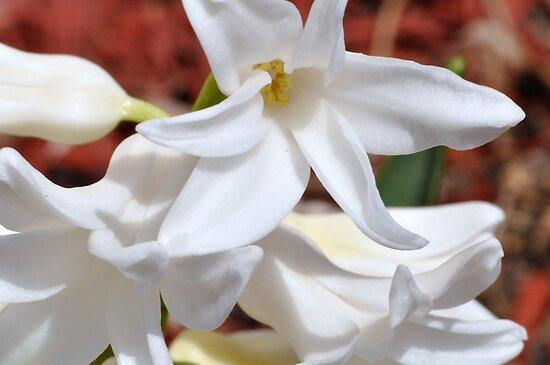 White Hyacinth by MaryLynn