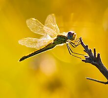 Yellow Striped Hunter Dragonfly by RatManDude