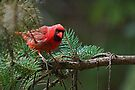 Eye To Eye With A Cardinal On A Pine Branch by Gene Walls