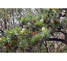 Banksia Integrifolia tree Photographic Print