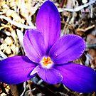 1st Spring flower in my yard! by DearMsWildOne