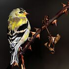 Spring Coat / American Goldfinch by Gary Fairhead