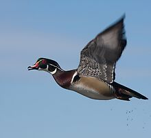 Wood Duck Drake inflight - Ottawa, Ontario by Stephen Stephen