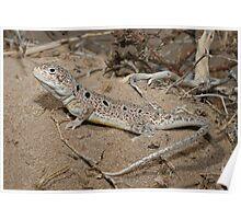 Ctenophorus maculosus Lake Callabona_SA Poster