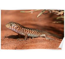 Liopholis slateri slateri_Alice Springs area_NT Poster