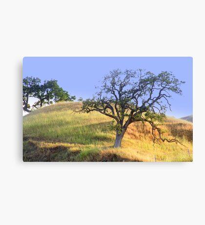 hillside slow growth oak tree Canvas Print