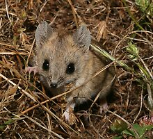 Fat tailed dunnart, Clare area, SA by tiliqua