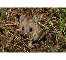 Fat tailed dunnart, Clare area, SA Photographic Print
