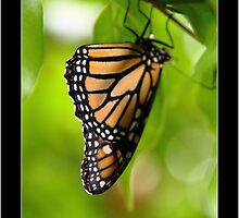 monarch (danaus plexippus) by vampvamp