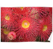 Red-flowering Gum Flower Poster