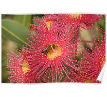Red-flowering Gum Flower with Bee Poster