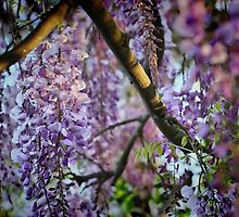 Light on Wisteria by Barbara  Brown