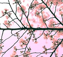 Pink Sakura by Sam Ryan