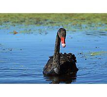 Black swan #6 - Ballarat Photographic Print