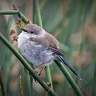 Another Little Blue Wren by Barb Leopold