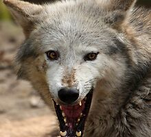 Laughing Wolf. by Mark Hughes