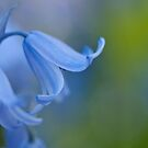 Blue Bonnet by J. Day