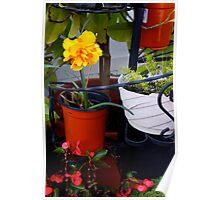 Japanese Daffodil in Alameda-2 Poster