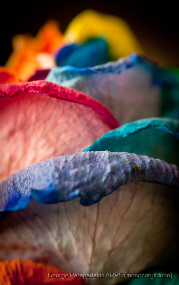 Rainbow Rose by George Parapadakis (monocotylidono)