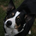 Brock the border collie cross by Joanne Plimmer