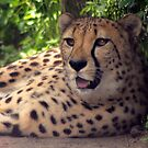 Cheetah by T. Victor