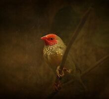 Star Finch by swaby