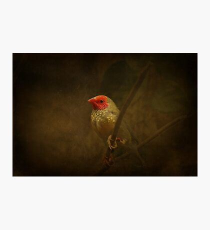 Star Finch Photographic Print