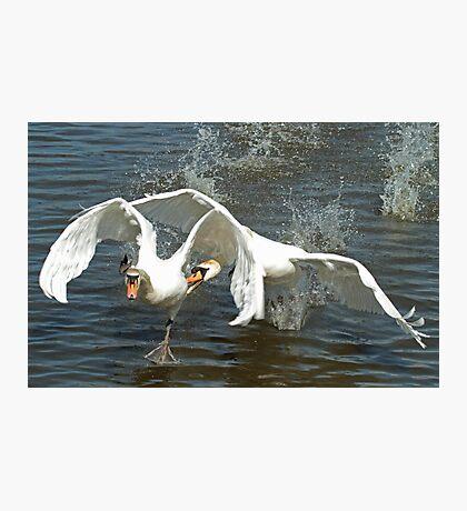 Swan Fight Photographic Print