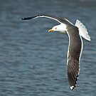 Lesser Black-Backed Gull by Robert Abraham