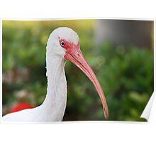 Elegant Beak Poster