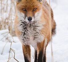 Red Fox in the Snow by Nigel Tinlin