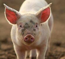 Suffolk Piglet by Natasha Von Bujnoch